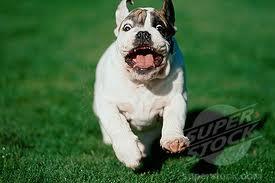 running bulldog