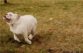 running bulldog2